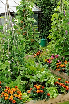 POTAGER STYLE SMALL SUMMER GARDEN WITH MIXED VEGETABLE AND FLOWER RAISED BEDS